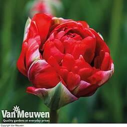 Tulip 'Boombastic Red'
