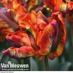 Tulip 'Rasta Parrot'