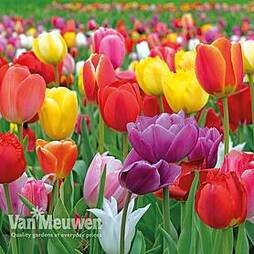 Tulip 'Majestic Mix'