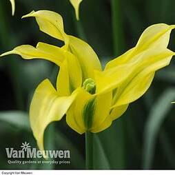 Tulip 'Pieter'