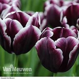 Tulip 'Jackpot'
