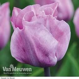 Tulip 'Carre'