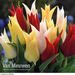 Tulip Elegant Mix