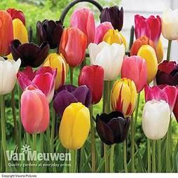 Tulip 'Everlasting Mixed'
