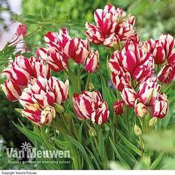 Tulip 'Flaming Club'