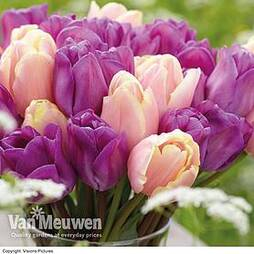 Tulip 'Magic Lavender' & 'Mango Charm' Collection