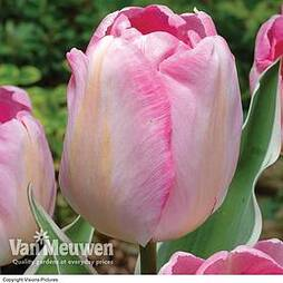 Tulip 'New Design'