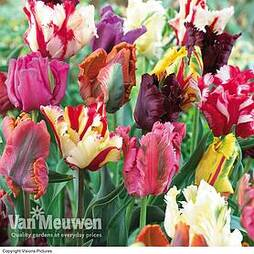 Tulip 'Parrot Mixed'