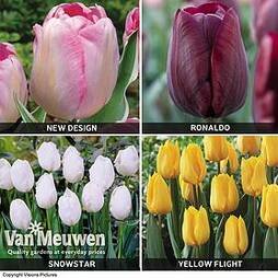 Tulip 'Triumph Collection'