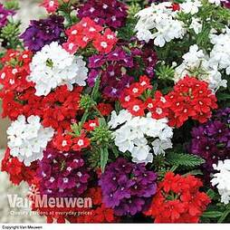 Verbena 'Quartz Mix'