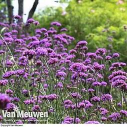 Verbena bonariensis 'Buenos Aires'