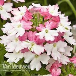 Verbena 'Samira Pink Wing'