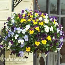 Viola Pre-Planted Hanging Basket