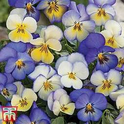 Viola 'Cool Summer Breeze'
