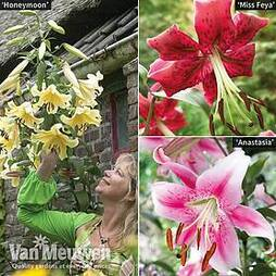 Soaring Tree Lily® Collection