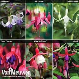 Fuchsia Colour Collection (Hardy)