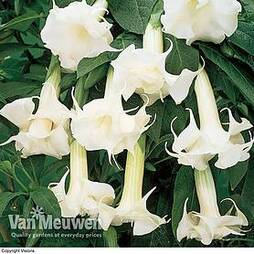 Angels Trumpets 'Double Fragrant White'