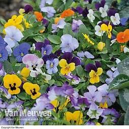 Viola 'Sorbet Mixed'