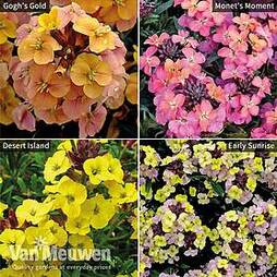 Wallflower Collection
