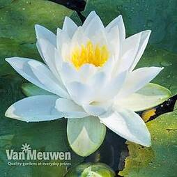 Water Lily (White)