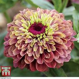 Zinnia elegans 'Queeny Lime Red'