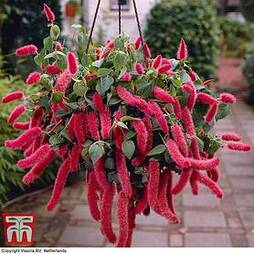 Red-Hot Cat's Tail (House Plant Seeds)