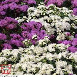 Ageratum houstonianum 'Dwarf Ball Mixed'