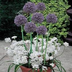 Plant-O-Tray Patio Preplanted Allium