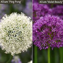 Allium Duo Collection
