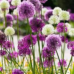 Allium 'Big Impact Mix'