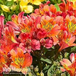 Alstroemeria 'Holiday Valley' (Summer Paradise Series)