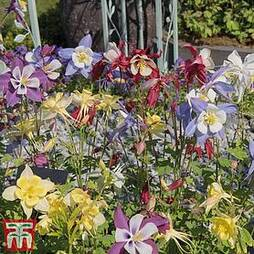 Aquilegia 'Pretty Bonnets Mix'