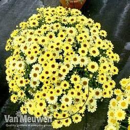 Argyranthemum 'GranDaisy Gold'