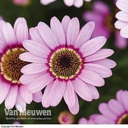 Argyranthemum 'GranDaisy Pink'