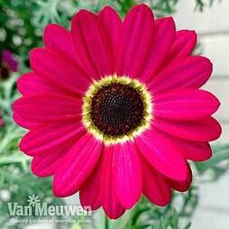 Argyranthemum 'GranDaisy Ruby'
