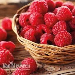Raspberry 'Autumn Bliss' (Autumn fruiting)
