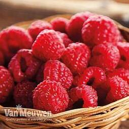 Raspberry 'Autumn Bliss' (Autumn fruiting)