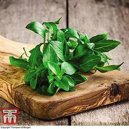 Organic Basil 'Classico'