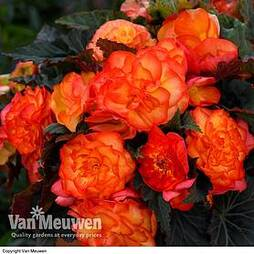 Begonia 'Non-Stop Fire'