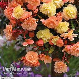 Begonia 'Fragrant Falls Improved™ - Apricot Delight'