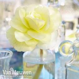 Begonia 'Fragrant Falls Improved™ - Lemon Delight'
