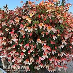 Begonia 'Waterfalls Bicolour'