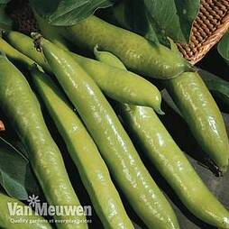 Broad Bean 'Aquadulce Claudia'