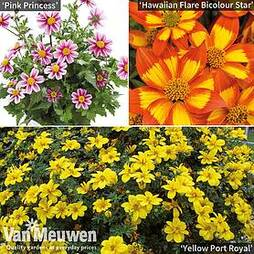 Bidens Collection