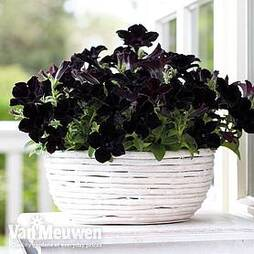 Petunia 'Crazytunia Back to Black'