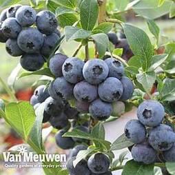 Blueberry 'Colour Bells Blue Patio' (Patio fruit)