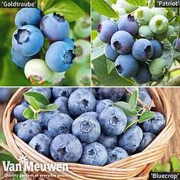 Blueberry ?All Season? Collection