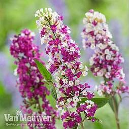 Buddleja 'Berries and Cream'