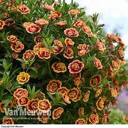Calibrachoa 'Can Can Double OrangeTastic'