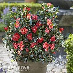 Camellia '1001 Summer Nights' Jasmine